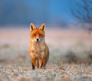 Orange Fox In Field - Obrázkek zdarma pro iPad
