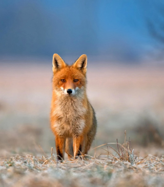 Orange Fox In Field - Obrázkek zdarma pro Nokia Asha 503