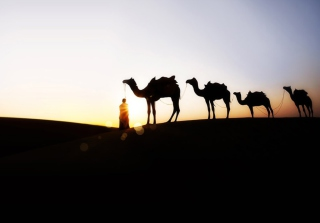 Camel At Sunset - Obrázkek zdarma pro Samsung Galaxy Q
