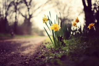 Daffodils Background for Android, iPhone and iPad