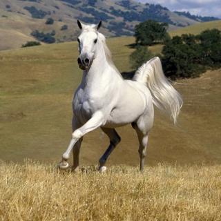 White Horse - Obrázkek zdarma pro 208x208