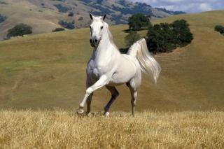 White Horse - Obrázkek zdarma pro Android 1080x960