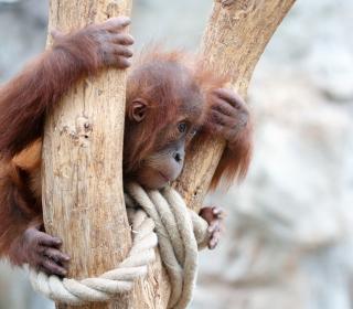Cute Little Monkey In Zoo - Obrázkek zdarma pro 208x208