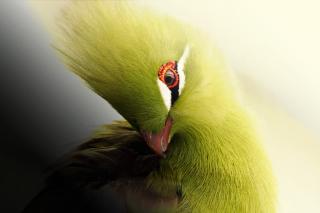 Turaco African Bird - Fondos de pantalla gratis Stub device