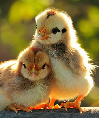 Chicken - Obrázkek zdarma pro Nokia X2