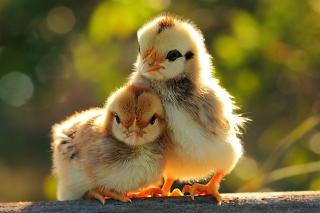 Chicken - Obrázkek zdarma pro Samsung Galaxy Tab S 8.4
