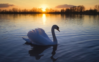 White Swan In The Sunset Picture for Android, iPhone and iPad