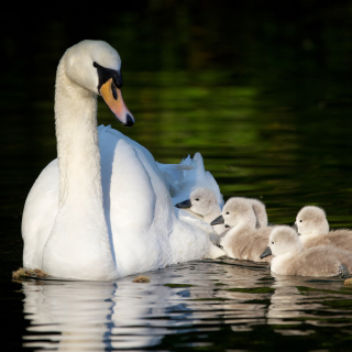 Swan and Swanling - Obrázkek zdarma pro 320x320