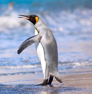Royal Penguin - Obrázkek zdarma pro iPad