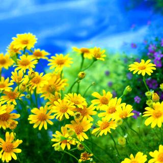 Yellow Daisies - Obrázkek zdarma pro 320x320