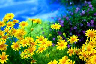Yellow Daisies - Obrázkek zdarma pro Widescreen Desktop PC 1600x900