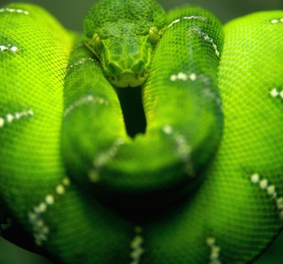 Tree Snake On Branch - Obrázkek zdarma pro iPad