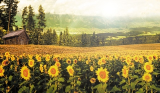 Free Sunflowers And Wooden Hut Picture for Android, iPhone and iPad