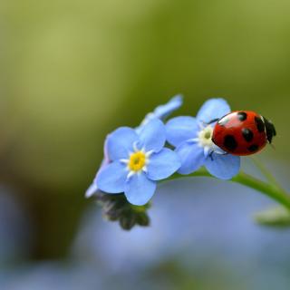 Ladybug On Blue Flowers - Obrázkek zdarma pro 208x208