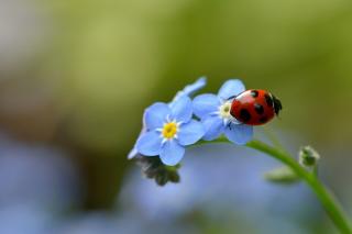Ladybug On Blue Flowers - Obrázkek zdarma pro HTC Hero