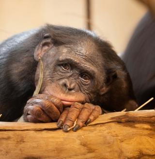 Sad Monkey - Obrázkek zdarma pro 208x208