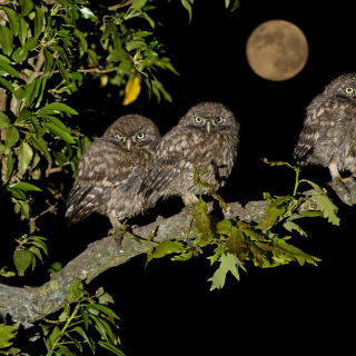 Athene Owl - Obrázkek zdarma pro 128x128