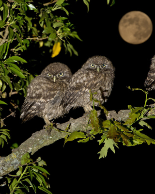 Athene Owl - Obrázkek zdarma pro iPhone 4