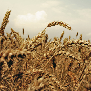 Wheat field - Obrázkek zdarma pro 1024x1024
