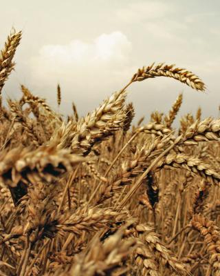 Wheat field - Obrázkek zdarma pro 240x400