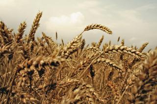 Wheat field - Obrázkek zdarma pro HTC Desire HD
