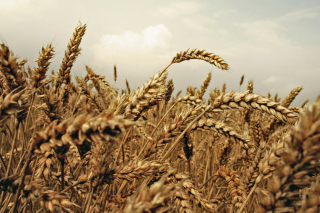 Wheat field - Obrázkek zdarma pro Samsung Galaxy S3