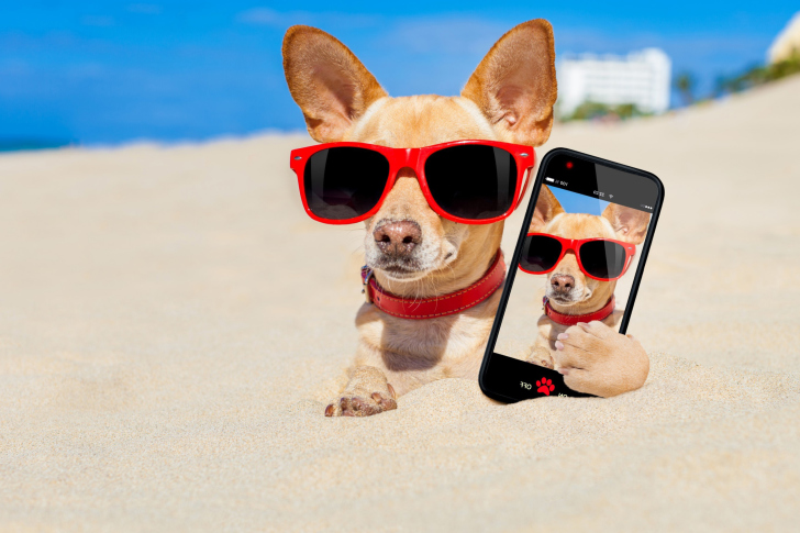 Chihuahua with mobile phone wallpaper