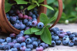 Free Blueberries Picture for Android, iPhone and iPad