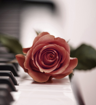 Beautiful Rose On Piano Keyboard - Obrázkek zdarma pro 208x208