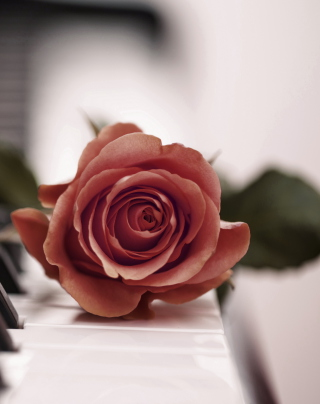 Beautiful Rose On Piano Keyboard - Obrázkek zdarma pro 132x176