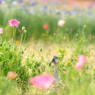 Duck on Meadow - Obrázkek zdarma pro 1024x1024