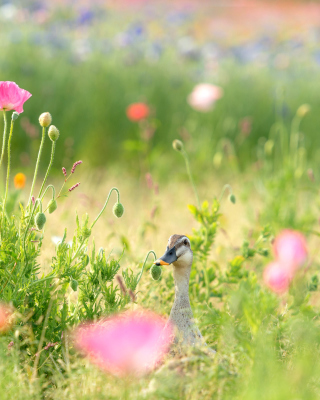 Duck on Meadow - Obrázkek zdarma pro 352x416