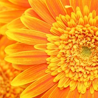 Amazing Orange Gerbera - Obrázkek zdarma pro 1024x1024