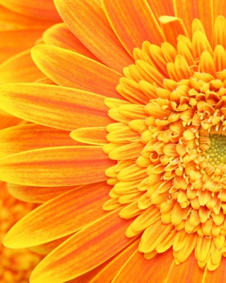 Amazing Orange Gerbera - Obrázkek zdarma pro Nokia C3-01 Gold Edition