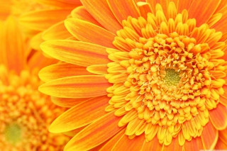Amazing Orange Gerbera Background for Android, iPhone and iPad