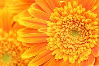 Amazing Orange Gerbera - Obrázkek zdarma