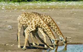 Giraffes Drinking Water - Obrázkek zdarma pro 800x600