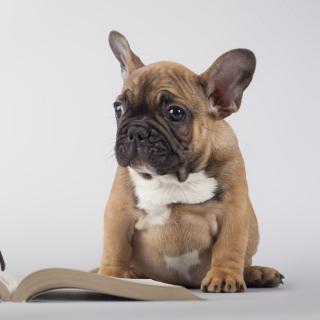 Pug Puppy with Book - Obrázkek zdarma pro iPad