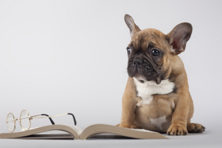 Pug Puppy with Book - Obrázkek zdarma pro Widescreen Desktop PC 1920x1080 Full HD