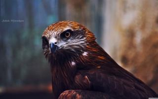 Eagle - Obrázkek zdarma pro Widescreen Desktop PC 1440x900
