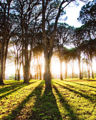Long Trees Shadows - Fondos de pantalla gratis para Nokia 5230