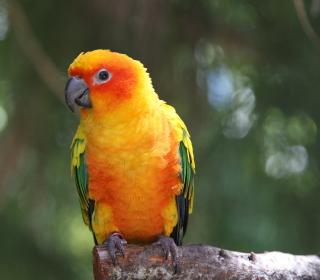 Golden Parrot - Obrázkek zdarma pro 2048x2048