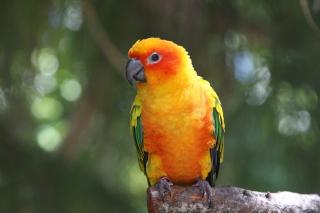 Golden Parrot - Obrázkek zdarma pro Samsung Galaxy Ace 4