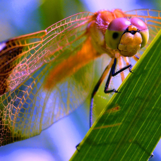 Dragonfly - Obrázkek zdarma pro 320x320