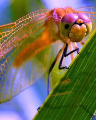 Dragonfly - Obrázkek zdarma pro 480x800