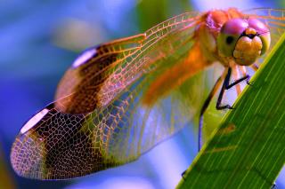 Dragonfly - Obrázkek zdarma pro 1024x600