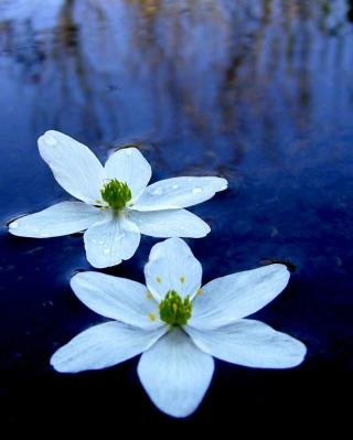 Water Lilies - Obrázkek zdarma pro 132x176