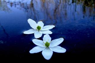 Water Lilies - Obrázkek zdarma pro Desktop 1280x720 HDTV