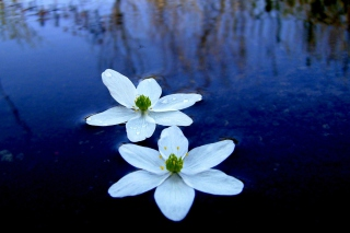 Water Lilies - Obrázkek zdarma pro LG P970 Optimus