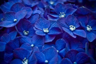 Blue Flowers Background for Android, iPhone and iPad